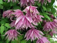 Clematis Purple Dream